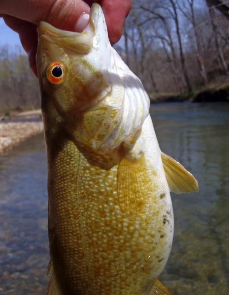 Smallmouth - Current River-Ashley creek 01Apr16 (2).JPG