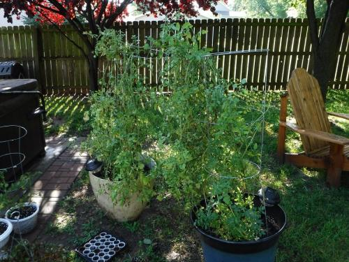 A Tale Of Two Tomato Plants Gardening Ozarkanglers Com