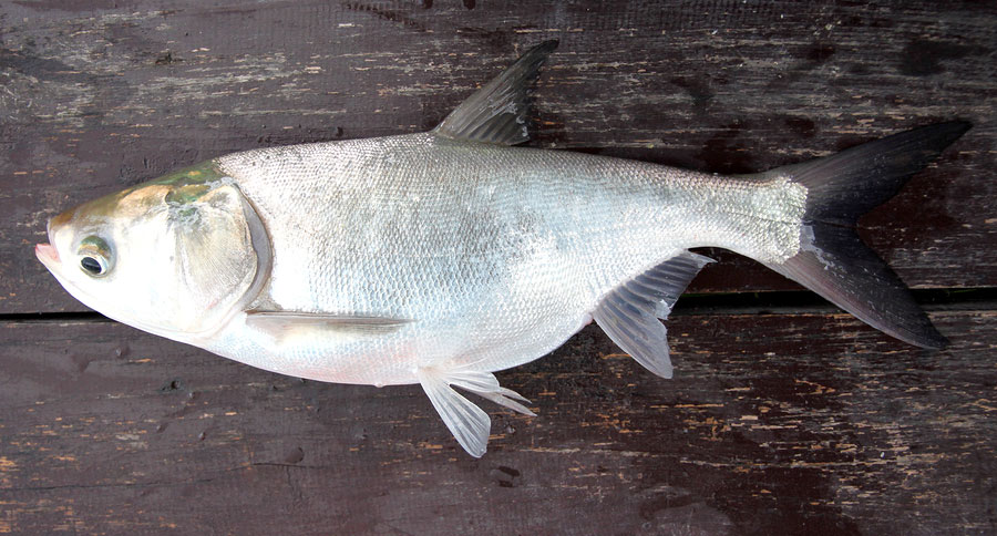 Arkansas asian carp history