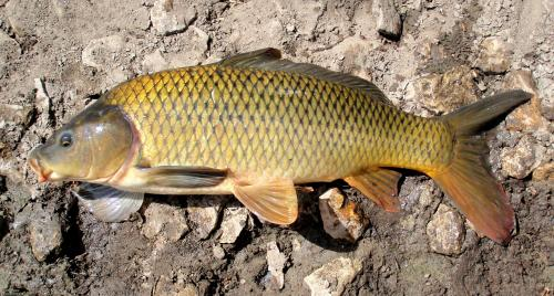 Common carp_ EB34_ 7-3-11_ NT.jpg