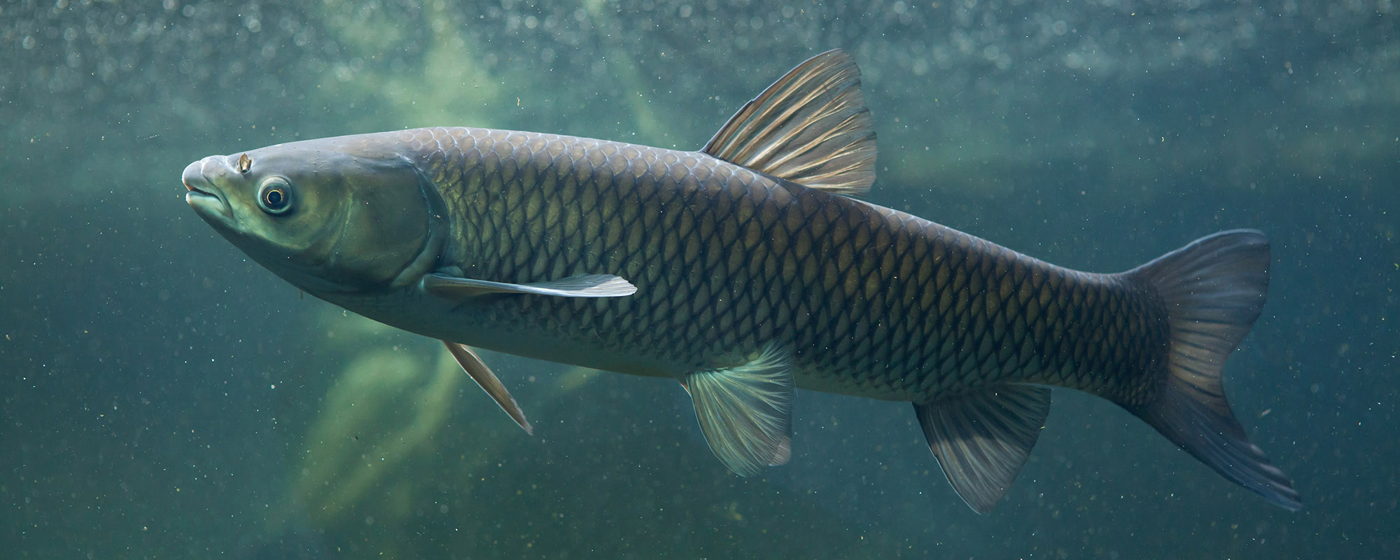 Rough fish removal a good thing not so fast for White amur fish