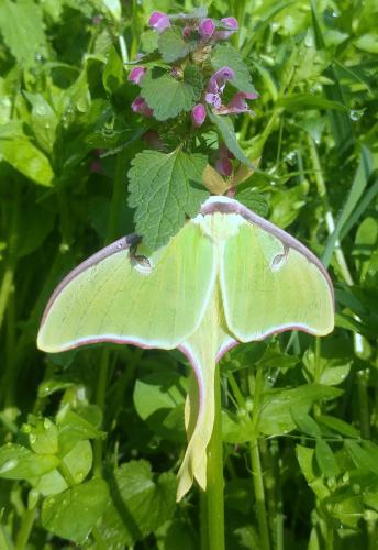 Tenn Luna moth 04Apr18.jpg