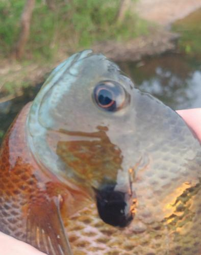 Bluegill (3) - Tuckahoe 10May18.jpg