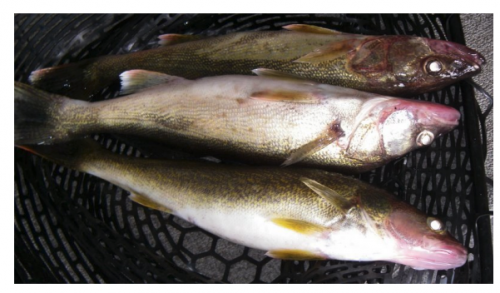 3 walleye.png